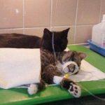 FOTOS: Radamenes, el gato enfermero de Polonia