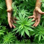 Siembran en Jamaica semillas de marihuana para investigación