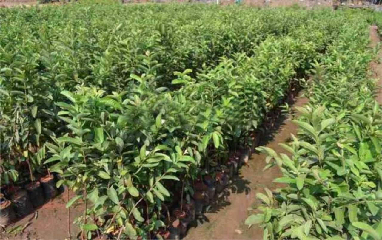 Puede establecer plantaciones de guayaba común, arrayán u otros árboles cuyas frutas son base para otros productos. Foto EDH / Cortesía