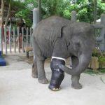 Video: ¿Conoces a Mosha, la elefante que usa pata artificial?
