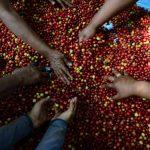 El Consejo Salvadoreño del Café proyecta una disminución en la cosecha del café para este año. Los cafetos ya no tienen gran rendimiento. Foto EDH / Archivo