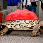 Crean prótesis en 3D para caparazón de tortuga