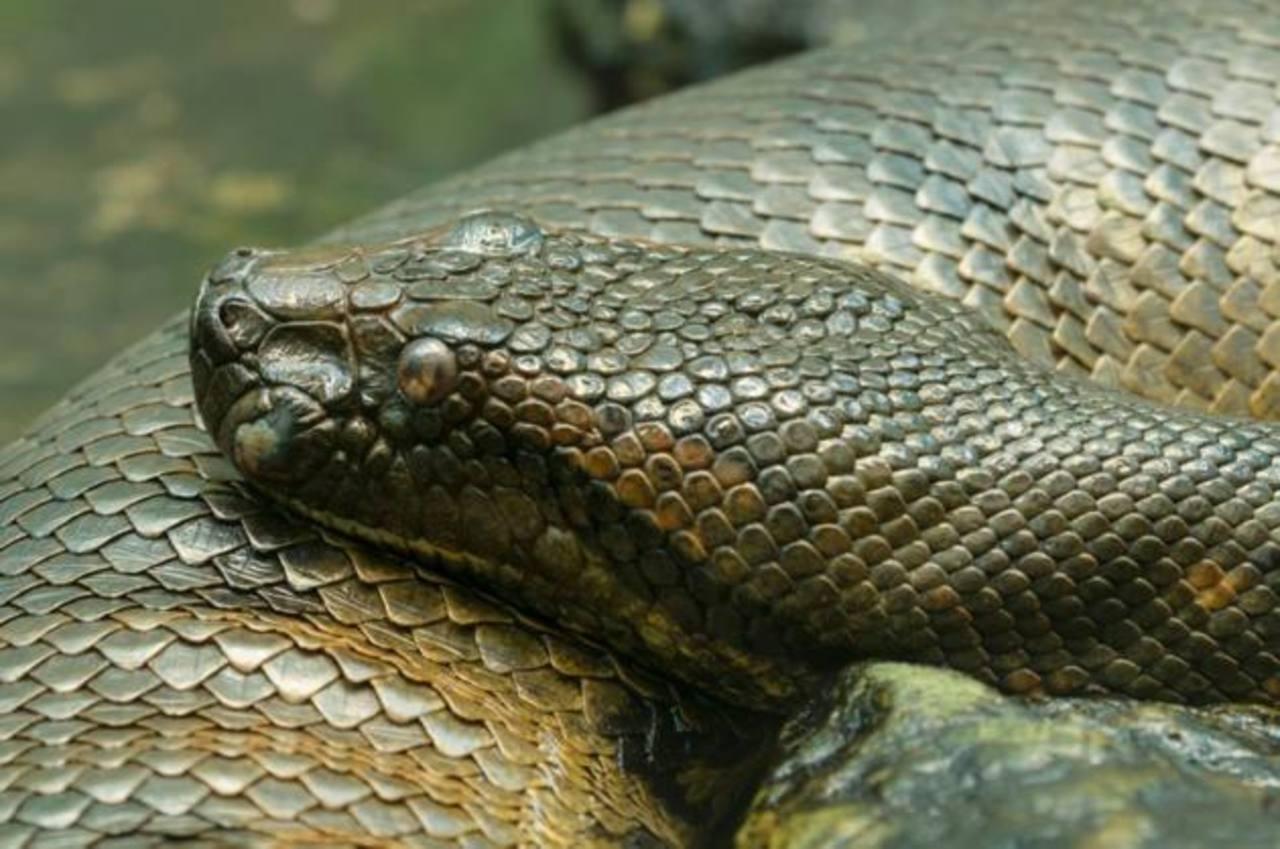 Nunca creerás lo que hallaron dentro de esta gigantesca serpiente