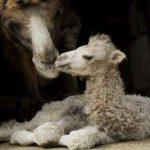 La primera camella clonada dará a luz a fines de año