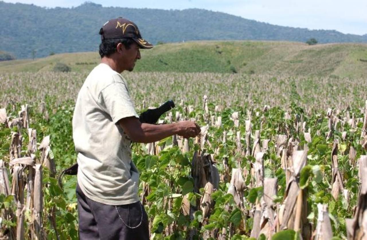 Pequeños agricultores producen 90 % granos básicos.