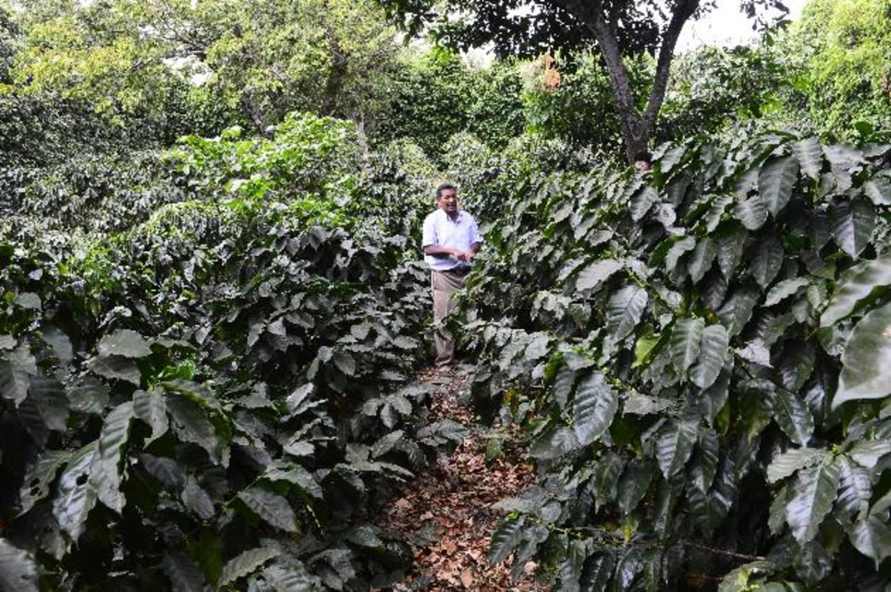 Renovar el parque cafetero implica mejoras en las fincas que ayuden a los cortadores, claves en el cultivo. Foto EDH /René Estrada.