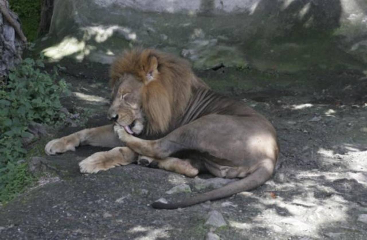 Se jubila el león Kali del zoológico Nacional