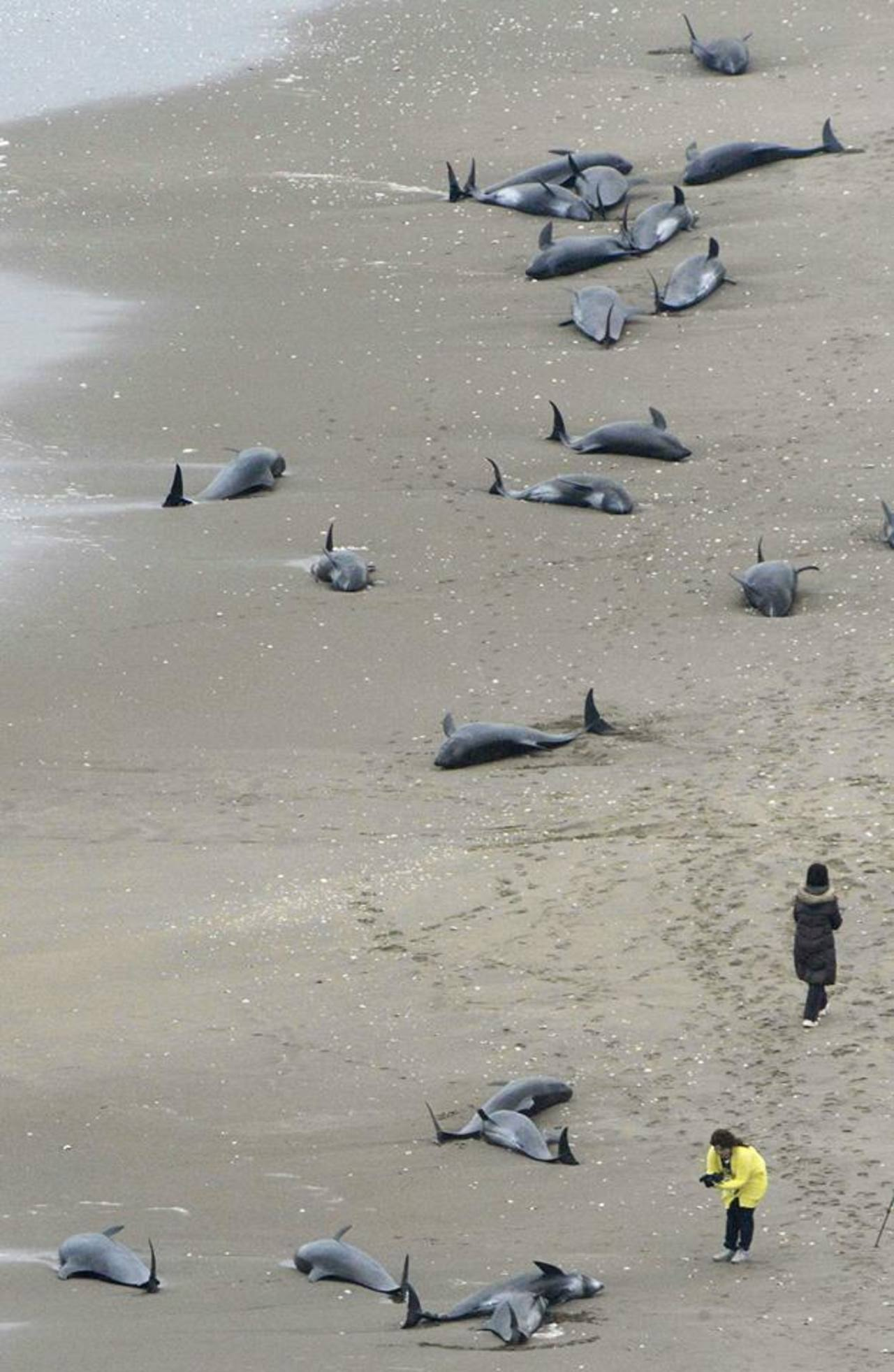 Aparecen varados 150 delfines en una playa de Japón