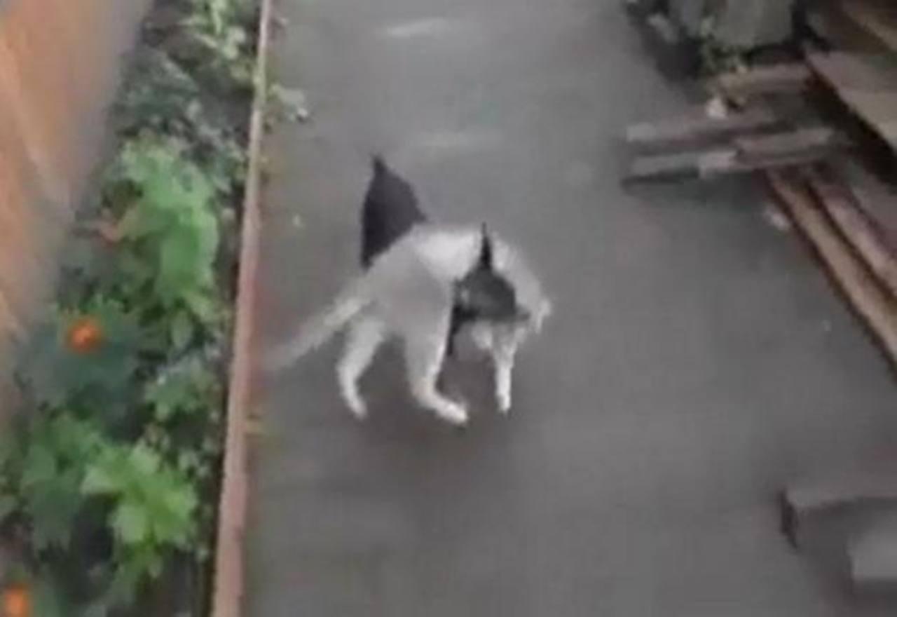 Perro carga a un gato desobediente y lo lleva a casa