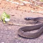 Video: Intensa pelea entre camaleón y serpiente es tendencia en redes