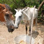 Decomisan 24 caballos ingresados por puntos ciegos en Pasaquina