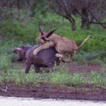Madre hipopótamo defiende a su cría del ataque de un león