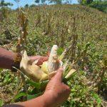 Con la sequía, el maíz no logra desarrollar los granos. foto edh