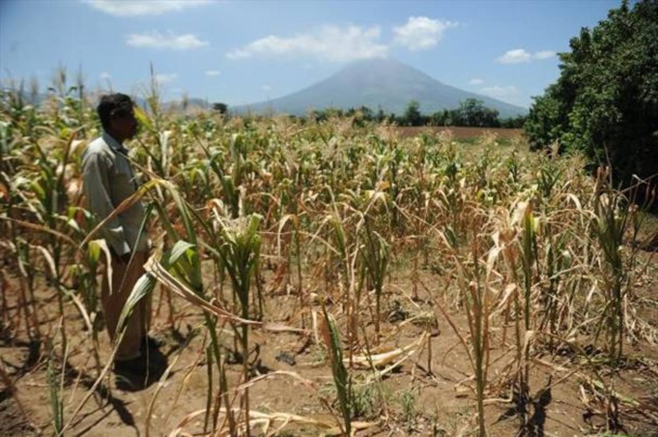 Sequía termina con cosecha de frijol en el país