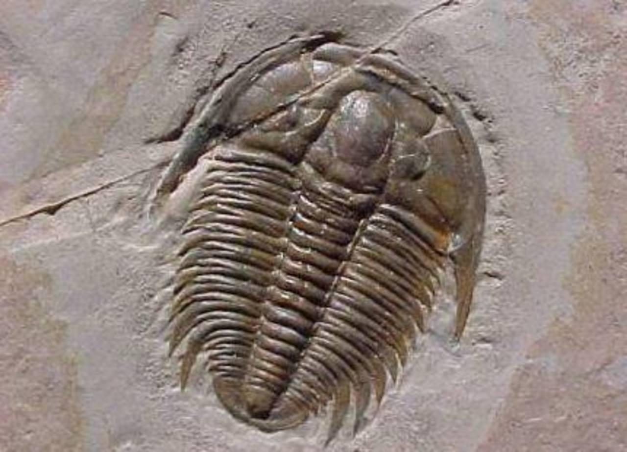 Localizan en un pueblo español el fósil trilobite más antiguo del mundo