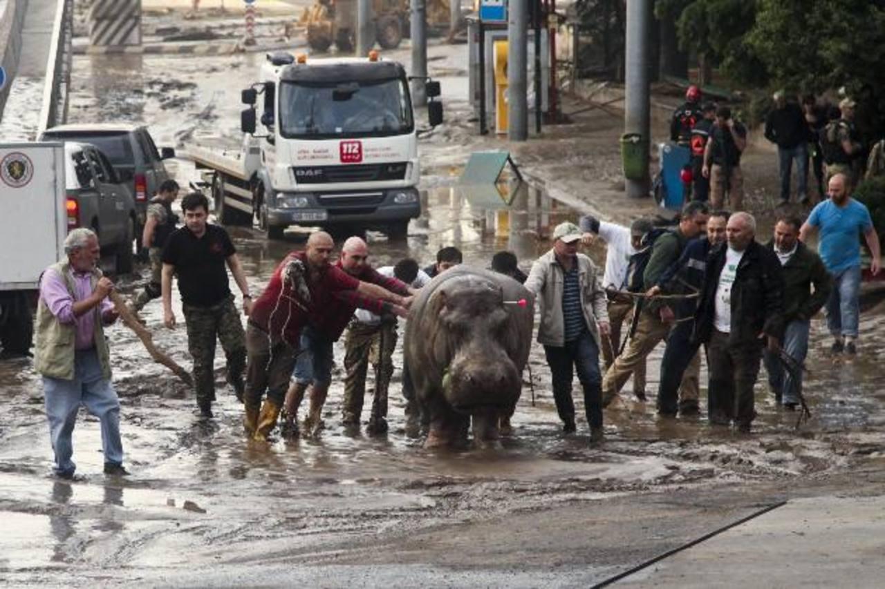 Este hipopótamo fue perseguido por varios puntos de Tiflis antes de que las autoridades lograran dispararle un dardo tranquilizante. foto edh / ap