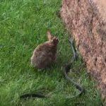 Coneja ataca a serpiente que quiere devorar a sus crías