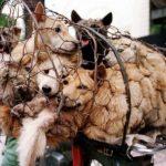 Realizan en China festival en el que se comen 10 mil perros