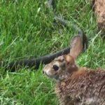 Sorprendente lucha entre serpiente y conejo para salvar a su cría