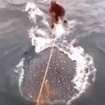 """VIDEO: Buscan a hombres que """"surfearon"""" sobre un tiburón ballena"""