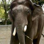Elefanta escapa de circo en Alemania y mata a un hombre