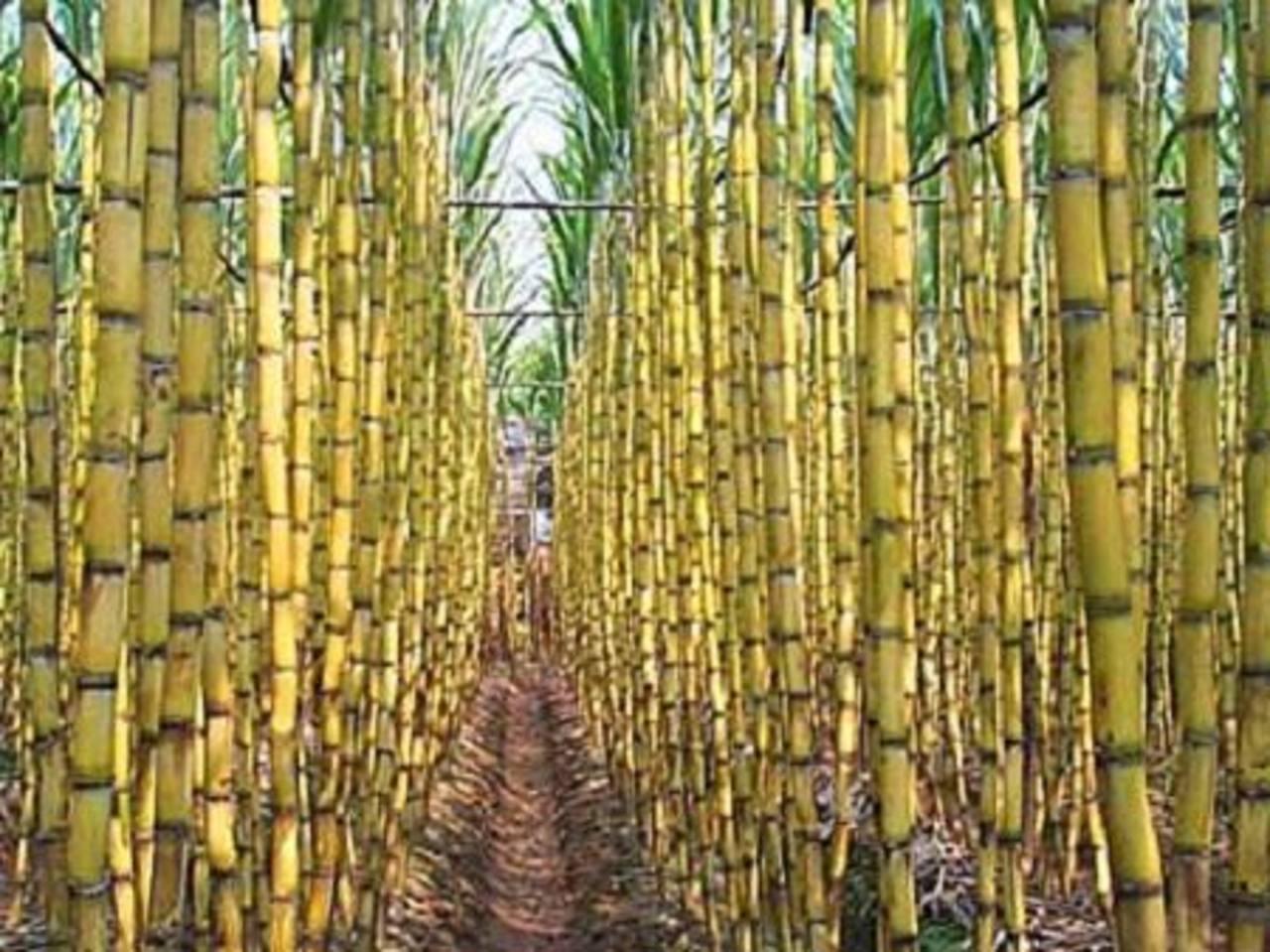 La caña es uno de los principales cultivos de Brasil.
