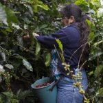 Honduras se recuperó en un 18 % para el año cafetero 2013/2014.