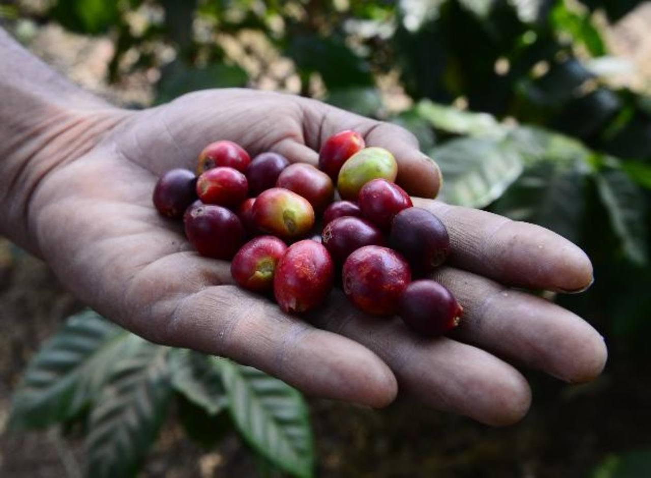Los europeos gustan del café producido en Honduras.