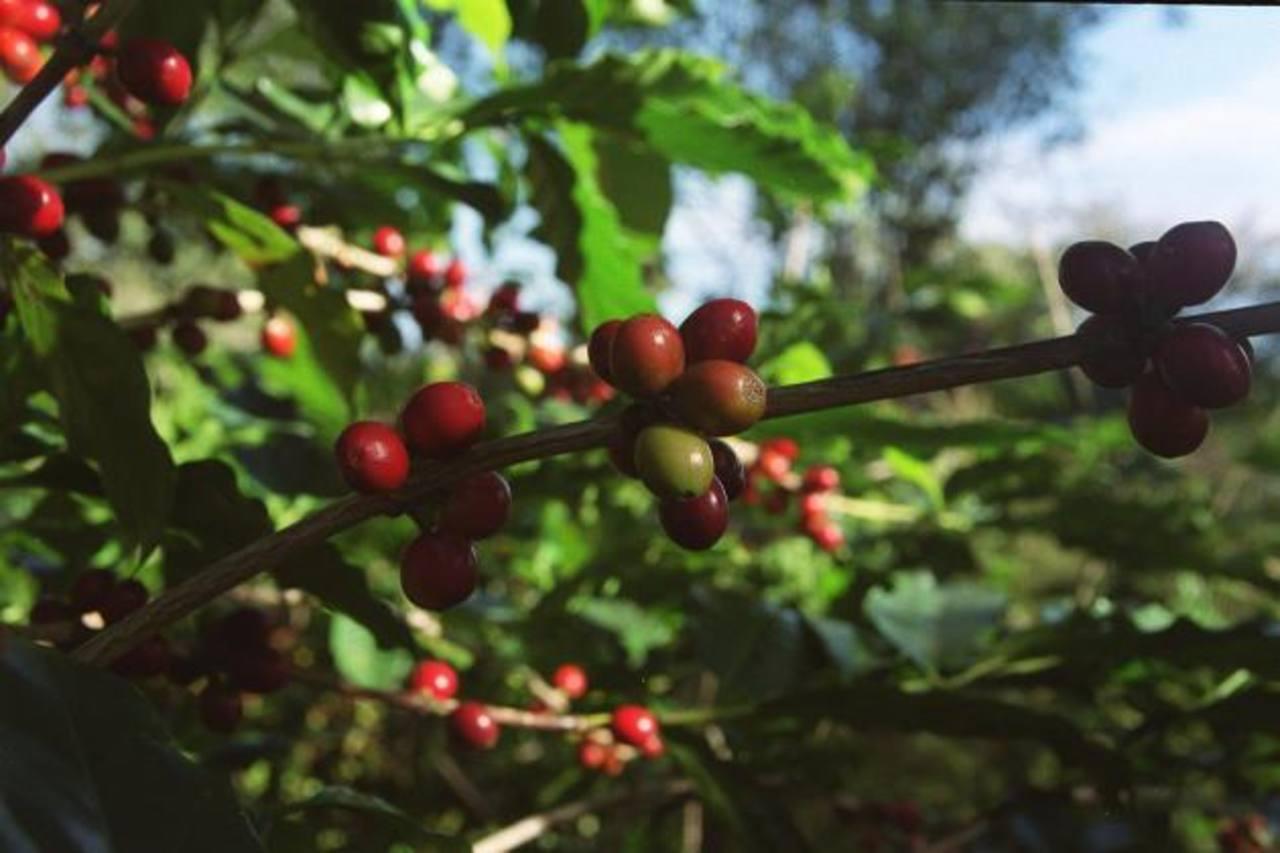 Exportaciones de café en El Salvador incrementan 17.1 % en abril