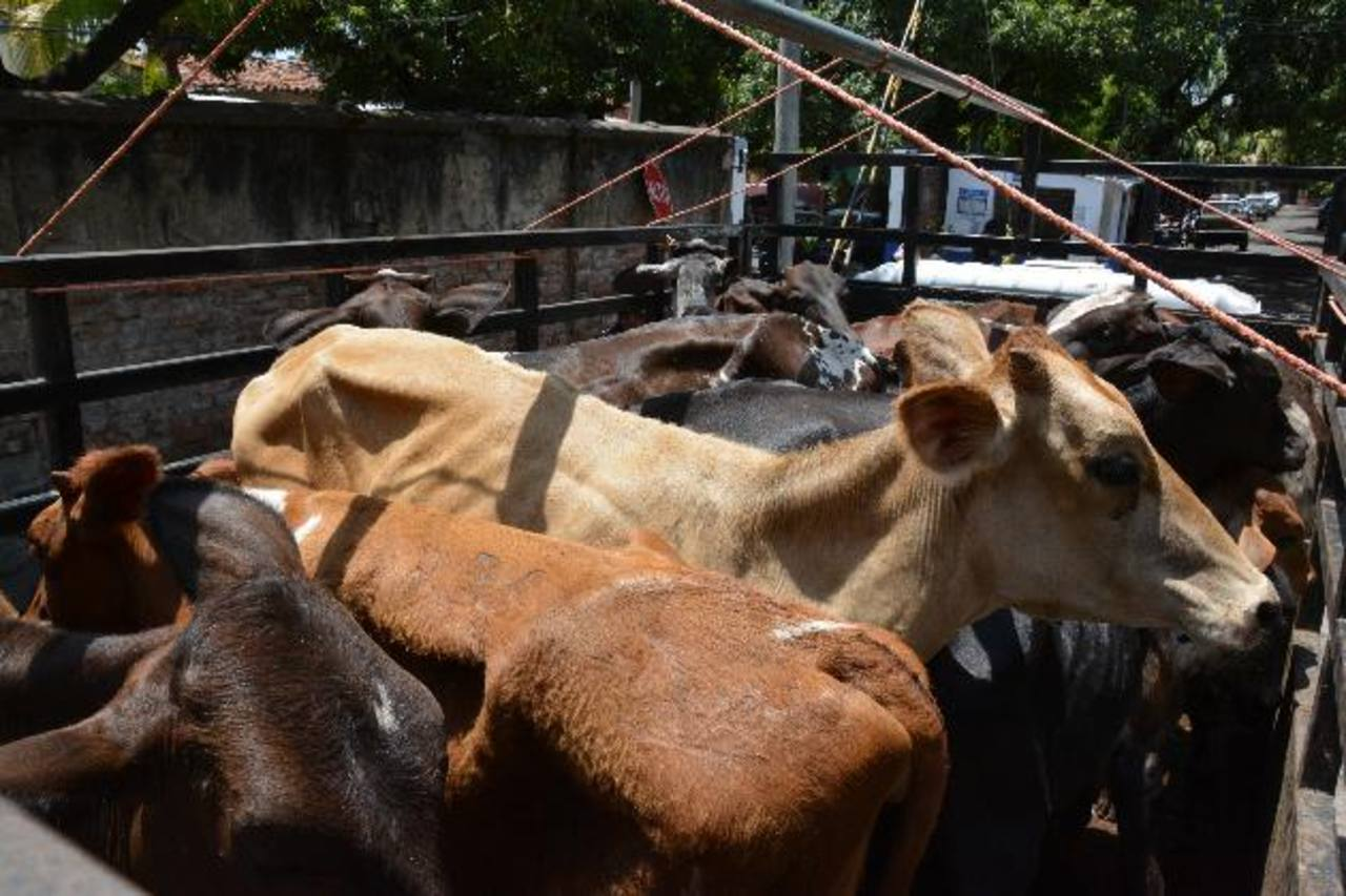 El sábado anterior, la Policía decomisó 23 cabezas de ganado en San Miguel. Eran hurtadas.