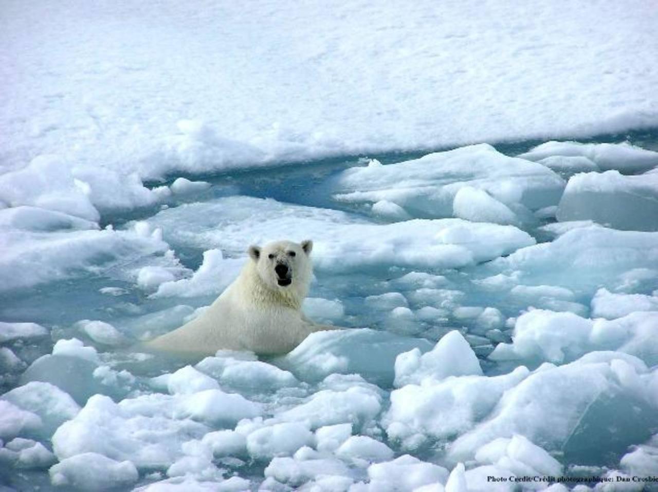 A los osos polares se les dificulta sobrevivir en témpanos de hielo cada vez más frágiles. fotos edh