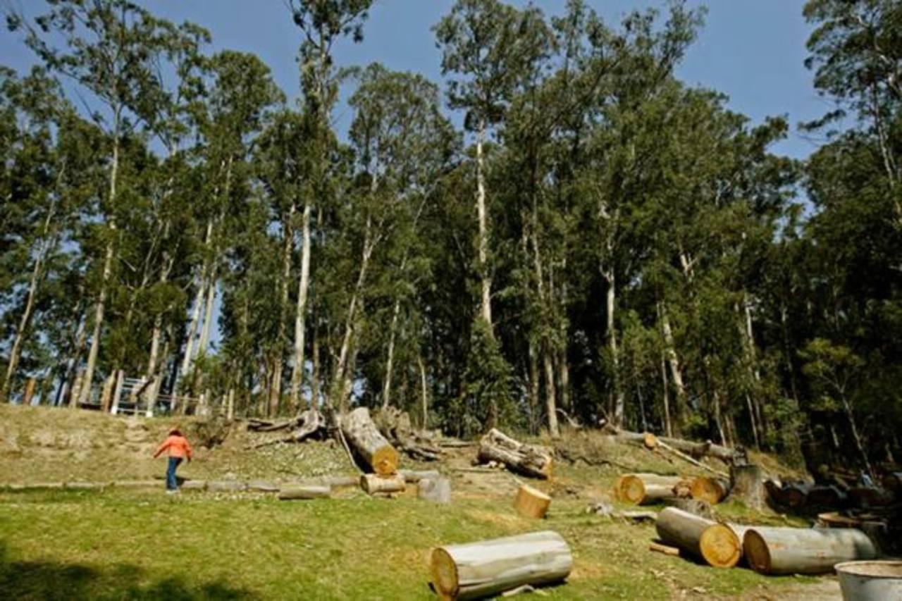 Los bosques de maderables son una manera de mejorar el medio ambiente y convertir en rentables, terrenos ahora marginales. foto edh