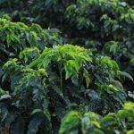 Cada año se pierde casi 40 % de los rendimientos de los cultivos, por las plagas.