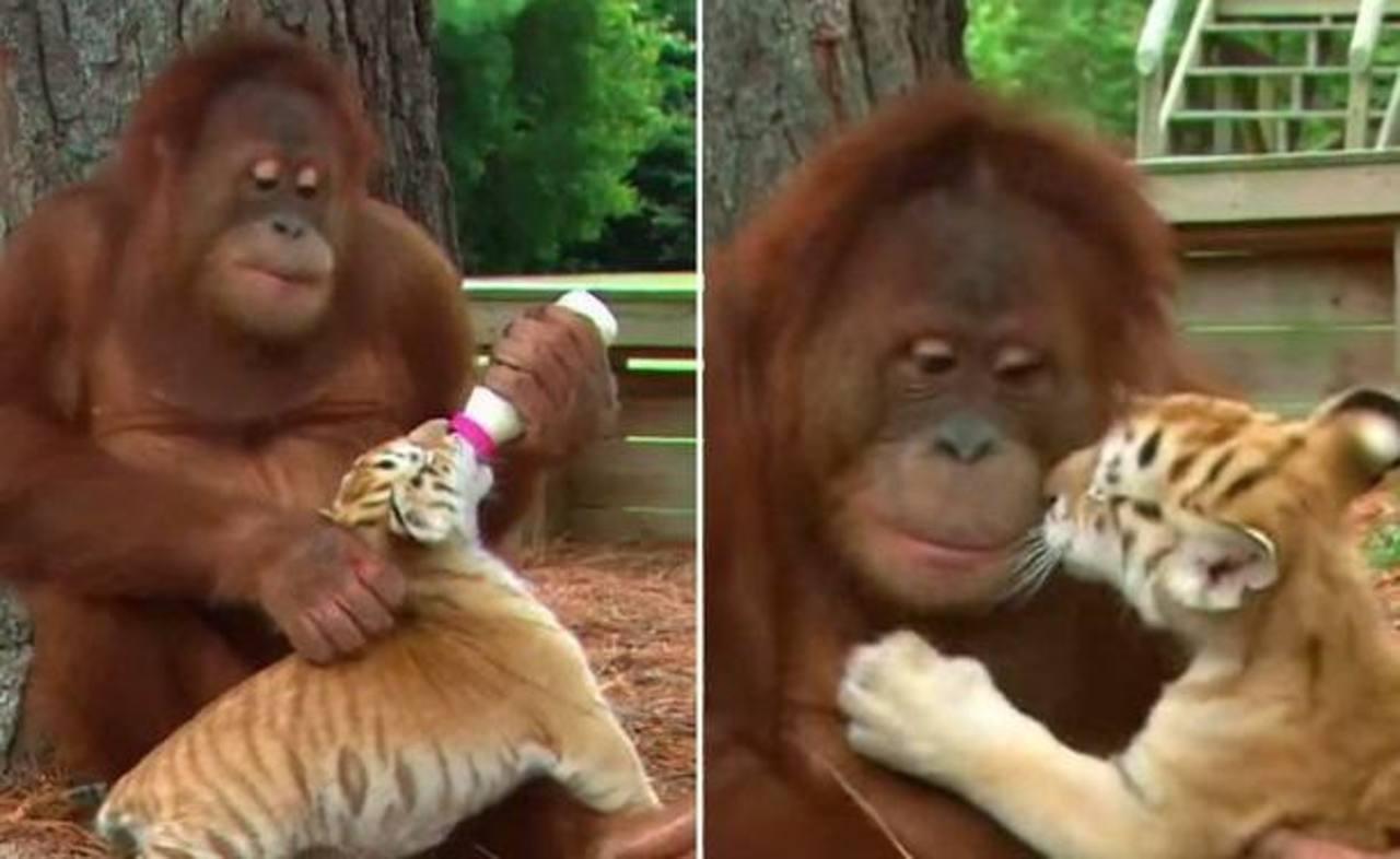 VIDEO: Orangután alimenta a bebé tigre