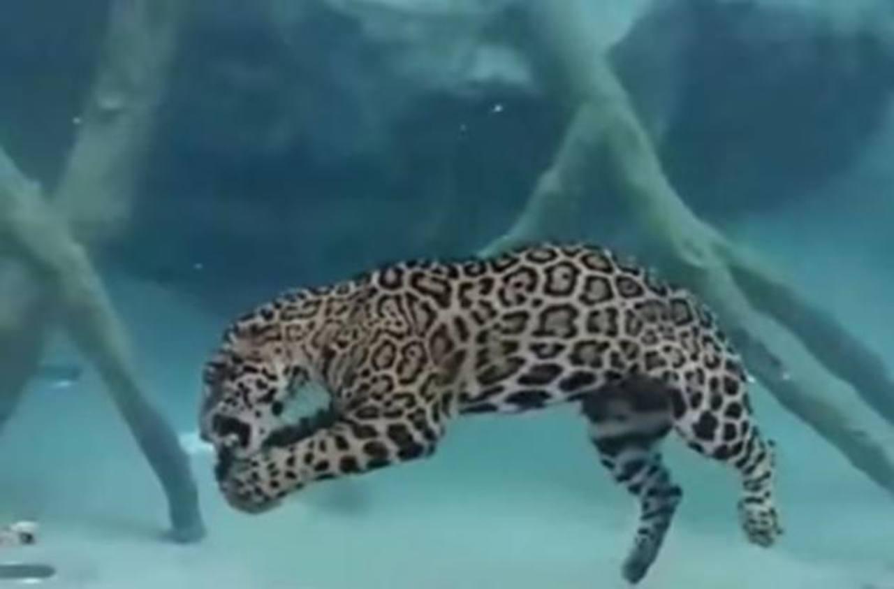 video muestra a jaguar cazando bajo el agua. Black Bedroom Furniture Sets. Home Design Ideas