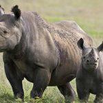 Texano caza rinoceronte negro en peligro, con autorización