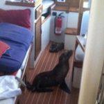 VIDEO: Cachorro de león marino se cuela a dormir en un yate