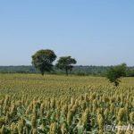 Plantación de sorgo o maicillo