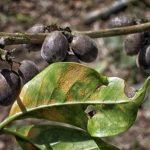 La roya afectó al 22 % del café a nivel regional