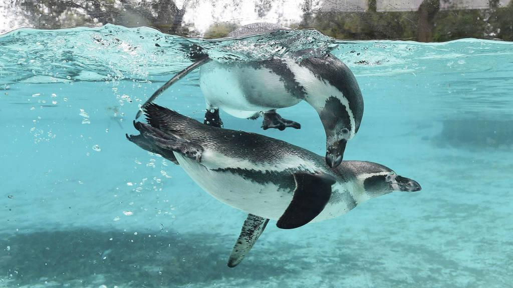 Pingüinos de Humboldt