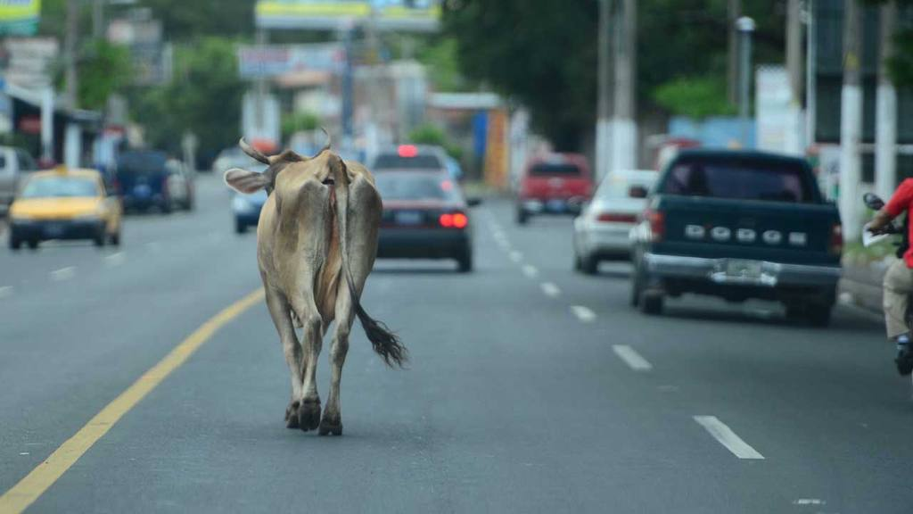 Vaca en San Miguel