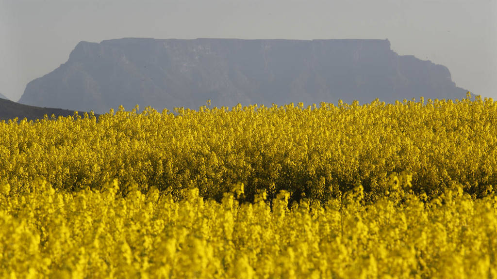 A view of thousands of canola plants with the Table Mountain