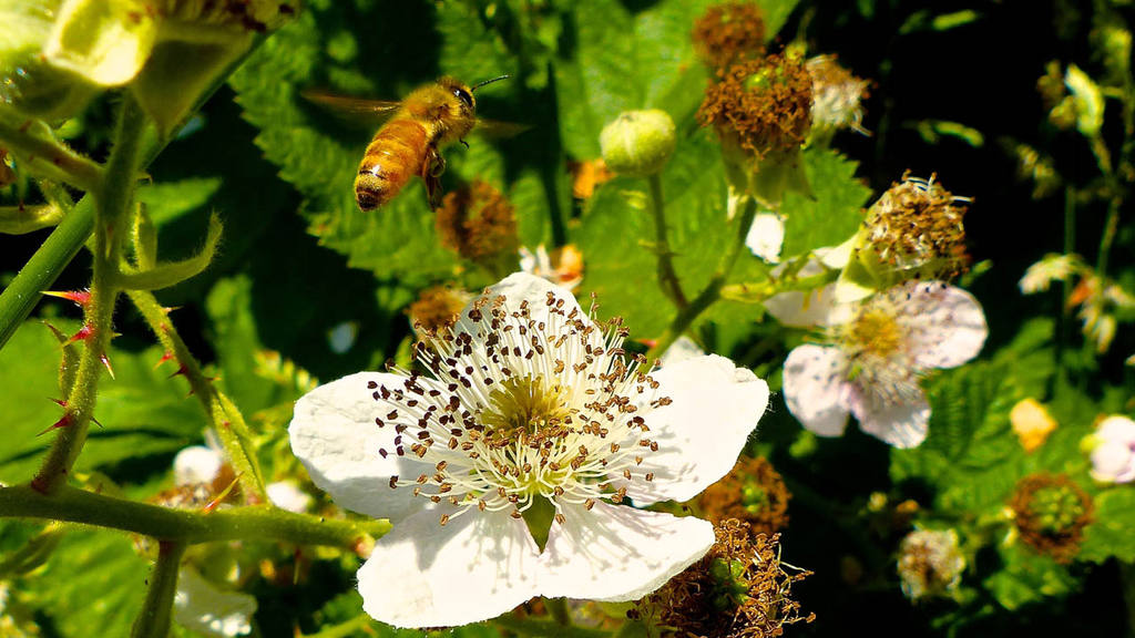 This June 10, 2015 photo shows a honeybee about to descend on a black