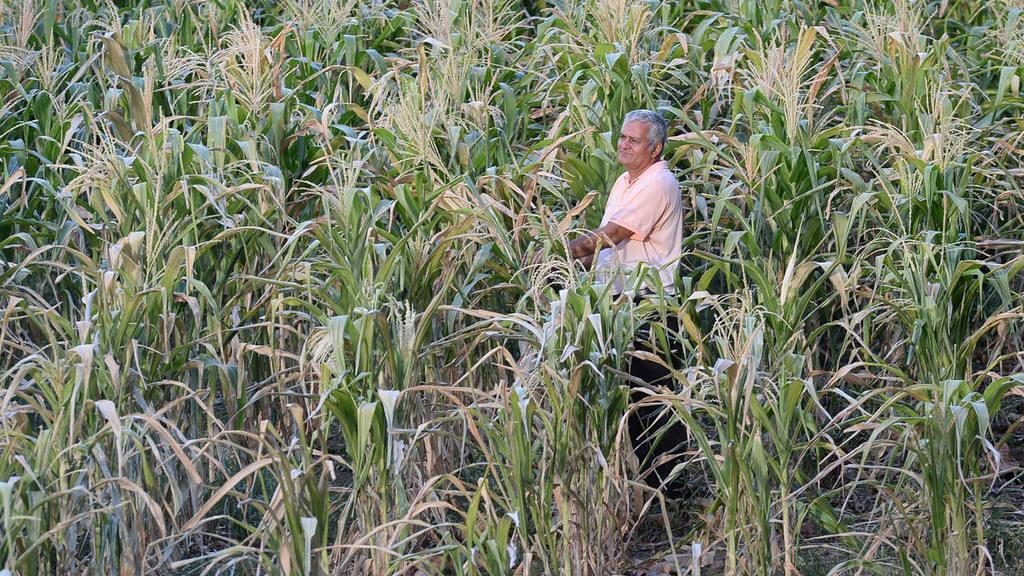 Fenómeno El Niño afecta al agro