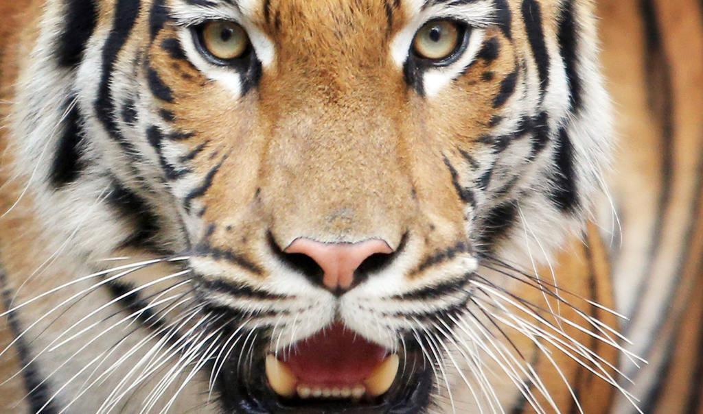Tigress relocates