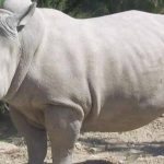 Rinoceronte blanco Nabire