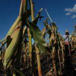 MAG indica que se debe comenzar siembra de maíz  el 10 agosto