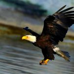 Águila atacada por dos gaviotas