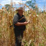 Ya se perdieron 7.6 millones quintales de maíz por sequía