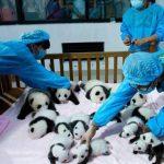 La guardería para pandas se localiza en China.
